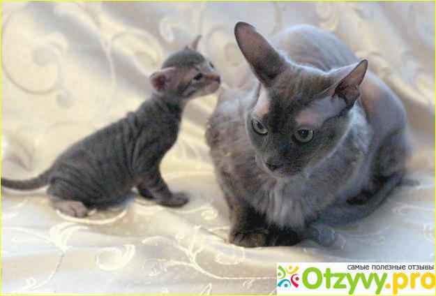 Особенности содержания кошек породы донской сфинкс браш.