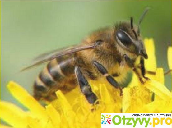 Целебные свойства пчелиного подмора.