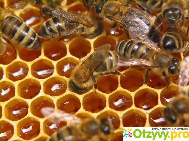 Эффективность употребления пчелиного подмора для потери веса