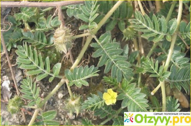 Особенности применения данного растения