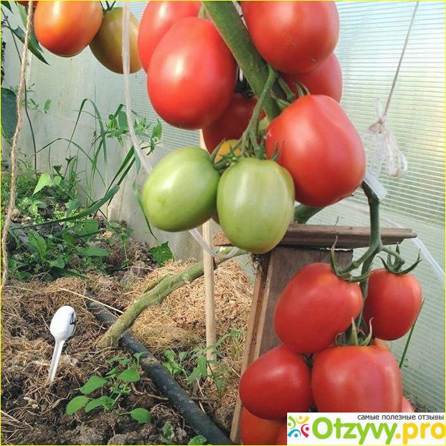 Урожай у нас обычно хороший