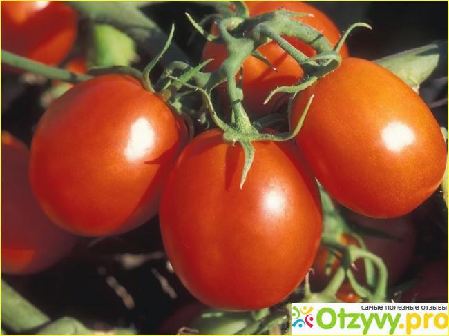 Все же томат Настенька отлично зарекомендовал себя.