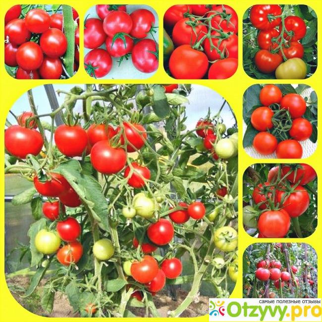 В чем минус сорта томатов Верлиока: