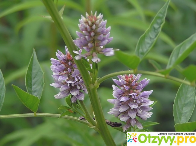 Солодка-это многолетнее фармацевтическое растение, которого длина высоту до 1,5 метра.