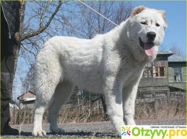 алабай собака фото цвет википедия Автобусные туры Ноябрьские