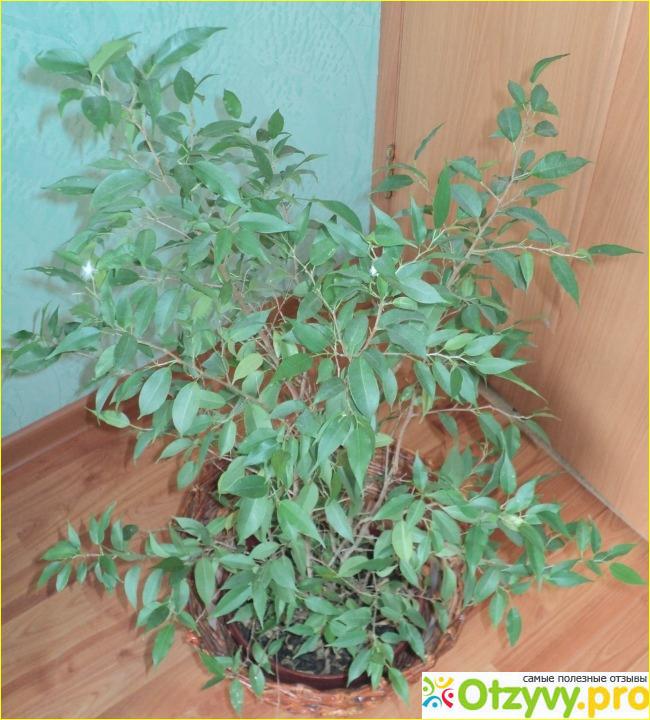 Фикус в домашних условиях почему опадают листья 22