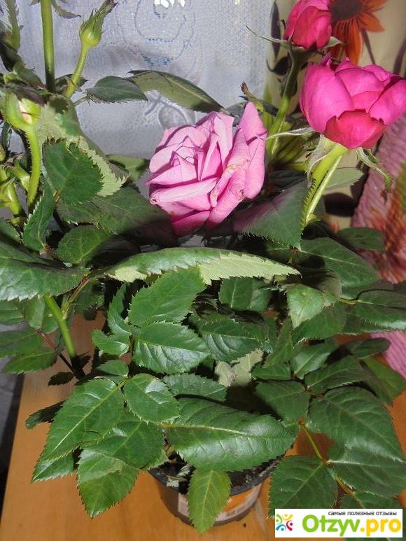 оби розы: